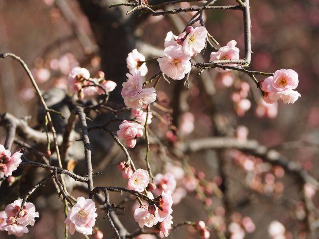 梅まつり「梅香る庭園へ」が9日からスタートだったので 天気の良かった10日にお散歩がてら行ってきました!早咲きの梅が梅林の3割程 咲いていました。白、ピンク、紅、蠟梅といろいろな種類の梅の花が楽しめました。<br />江戸糸あやつり人形もやっていて、スムーズな動きが素晴らしかったです。<br />