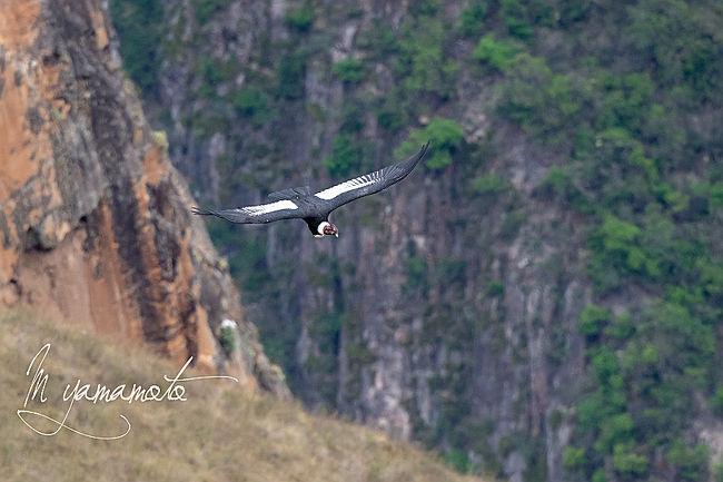 2018年10月12日から、28日17日間で、ペルーの探鳥を行ってきました。<br />主な目的は、Tambopata 川にあるClay lick(土壁)に来るコンゴウインコをみること。また、クスコ近くではアンデスコンドルを撮影することでした。<br />クスコまで行くのなら、ついでなのでマチュピチュにも行ってきました。<br />10月12日にDelta便にて、アトランタ経由リマに深夜到着。翌朝、ペルーのアマゾン上流の町プエルトマルドナードに。<br /><br />Amazonの探鳥は、そこからTambopata川をボートで3時間半の宿へ(3泊)。コンゴウインコのClay lickが更に上流にあるので、そこから2時間ボートで上流の別の宿(3泊)へ,<br />そこからまた、最初の宿に戻って、10/22早朝にクスコに行くためにプエルトマルドナードに。<br /><br />その後、クスコ近郊で探鳥と遺跡見学をして、26日の夜便に乗り、アトランタ経由で<br />日本に28日に帰国しました<br /><br /><br />本編はプエルトマルドナードからクスコに戻ってのアンデスコンドルの探鳥とマチュピチュ観光をして帰国までの最終編です。