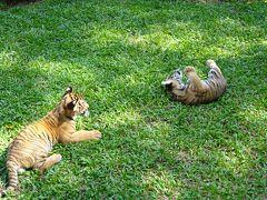 シラチャー・タイガーズーで赤ちゃんトラと戯れる