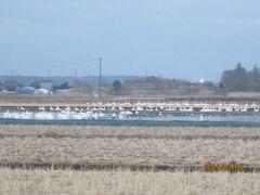 印西本埜の「白鳥の郷」瓢湖に次ぐ国内屈指の白鳥飛来地