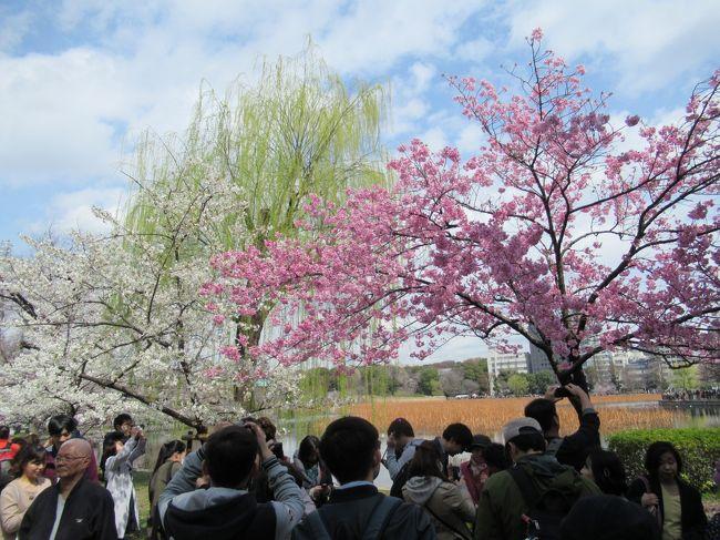 2018年の桜は3月24日にはほぼ満開でした。そんな日にぶらっと散策です。<br />上野の谷中霊園から上野公園、そして日本橋、最後は皇居の通り抜けです。