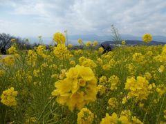 吾妻山公園の菜の花2019~海の青と菜の花の黄色の見事なコントラスト~