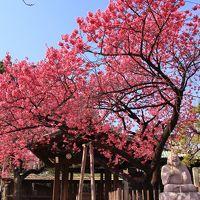 寒緋桜を見に荏原神社へ。ついでに品川宿界隈を散策。2019年2月