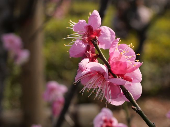 """東京梅ヶ丘・羽根木公園""""せたかや梅まつり2019""""を訪れて"""