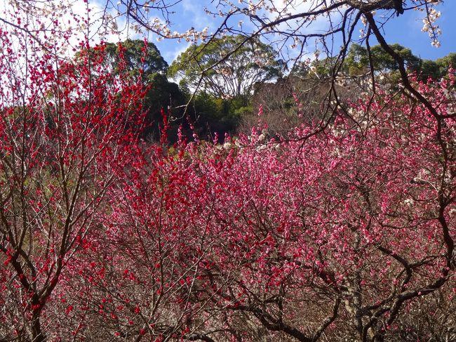 暖かな熱海、伊豆山を訪れ春を体感しました。<br /><br />連日日中も朝晩も冷え切っていたnorisa夫妻ですが、梅の花が満開近いとのニュースで静岡県熱海市にドライブしました。<br /><br />熱海梅園は春を求める観光客であふれていましたが、確かに春を実感できました。<br /><br />そして、源頼朝と北条政子ゆかりの伊豆山神社を訪れ例によって多くの祈願をしました(笑)