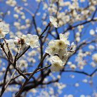 東京散歩、護国寺・東京大神宮・神楽坂・小石川後楽園〜少し春を感じました。