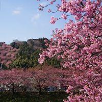 梅は咲いたか桜はまだか、どちらも楽しめる伊豆1 河津桜めぐり