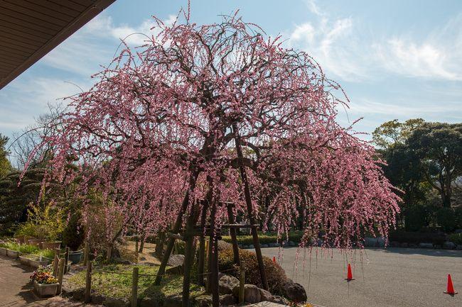 枝垂れ梅の名所、南立石公園へ行ってきました。