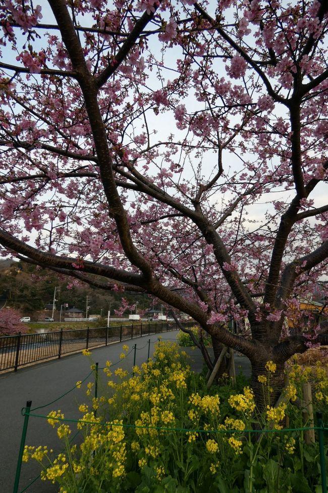 2019年2月16日1泊でエクシブ伊豆に泊まって、河津桜などの一足早い春を探してきました。<br /><br />旅行記は追々丁寧に書きますが、この土日に河津桜の花見を考えている方も居るのではないかと思い、ダイジェストで河津桜の様子を記します。