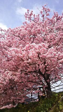 桜満開の河津へGO!ー今年の河津桜は素晴らしいだって!