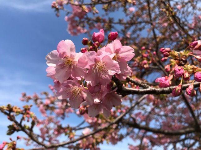 南千住にある汐入公園に、河津桜を見に行ってきました。<br />既に結構咲いていてきれいでした。