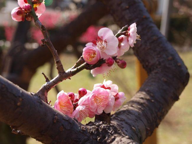 ここ数年、神奈川港北区の大倉山の梅林に観梅に出かけるのが2月の恒例行事。<br /><br />神津桜も魅力的だし、熱海の梅林、京都の梅も観たいがいかんせん、遠い。<br />大倉山ならば、近いし交通費だって知れている。<br />帰りにどこかで一杯ひっかければ、ちょっとした春の幸せを感じられる。<br /><br />大倉山は東急東横線で横浜からなら10分ほど。急行は停まらないので要注意。梅林は駅から徒歩で5分ほどですが、結構坂がきついのでこちらも要注意。駐車場は無いに等しいので車での訪問は避けた方が無難。<br /><br />しかし、観梅祭りを狙って行ったつもりがまさかの1W違い。梅まつりは先週でした。<br />こりゃチコちゃんに叱られるな。<br /><br />過去の大倉山梅林 観梅もよろしければどうぞ。<br /><br />2018<br />https://4travel.jp/travelogue/11331527<br /><br />2017<br />https://4travel.jp/travelogue/11217160<br /><br />2016<br />https://4travel.jp/travelogue/11105358<br /><br />2015<br />https://4travel.jp/travelogue/10987109