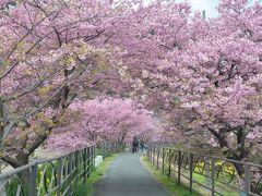 早春の伊豆 河津桜は満開でした。