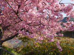満開の河津桜 2019