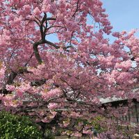 花も天気も絶好。混雑渋滞もピークの河津桜まつり2019