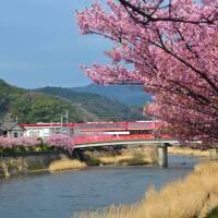 美しい春みいつけた! 桜満開の東伊豆・河津にてピンクの河津桜と黄色い菜の花の競演をめでる