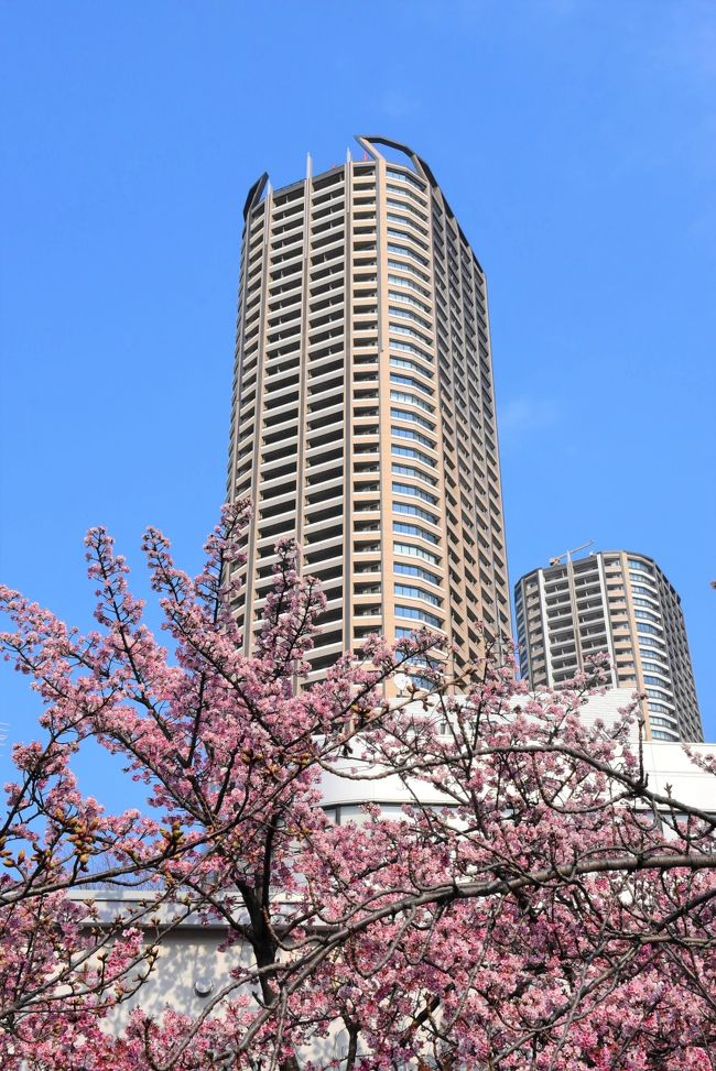 ポカポカ陽気になってきたので、二ヶ領(にかりょう)用水に沿って、中原(上家内橋)から武蔵小杉まで(1.6km)春の花を探しながら歩きます。<br />5日前(2月21日)に訪れたときは、一部の河津桜が咲き始めていました。<br /><br />今日(2月26日)は白梅、ミモザ、寒桜、河津桜など花の種類が増え、ヒヨドリやメジロも遊びに来ていて、春の訪れが間近です。<br /><br />あと1ヶ月経つと、花桃が満開になります。<br />
