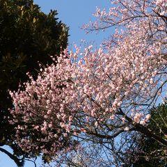 早春の上野公園へ行きました_2019_(3)五條天神社のウメが満開