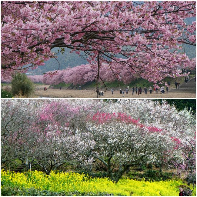 まだ寒さ厳しい二月後半だけど、春の訪れをいち早く感じられるのが伊豆半島。<br /><br />小田原、湯河原、熱海と梅林の名所が目白押し、そして近年テレビでも数多く取り上げられているため桜見物動員数では今や日本一とも言われている河津さくら祭りもあるのです。<br /><br />ということで、梅と桜の両方と温泉を楽しむというプチ贅沢な一泊二日のドライブ旅行。<br /><br />