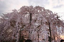 不完全燃焼に終わった京都へのお花見旅行。