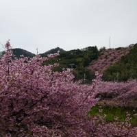 老犬とのドライブ 満開の河津桜と鶯・メジロ&浄蓮の滝&下田&恋人岬