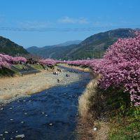 日本観光旅行記三本立て� : 河津桜で一足早い日本の春満喫