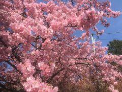 3月2日 横浜市児童遊園地の梅と河津桜