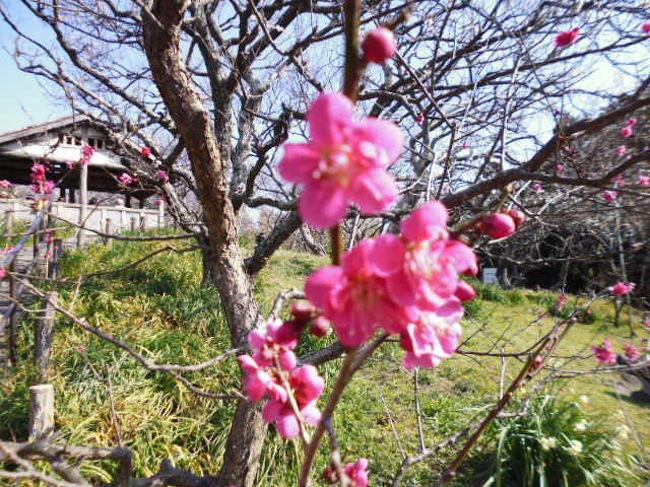 京急電車の主宰する田浦梅の里ウオークが2月23日に開催されたので歩いてきた。<br />梅の時期にはわずかに早かったようで山の上の梅はまだ咲いていないものもあります。歩きもけっこうきつくて大変な道のりでした。<br />ただ知らない道を3時間ほど歩けて、なかなか充実した散歩でした。