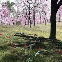 孫との2人旅は手始めに京都(花巡り編)南は城南宮・北は北野天満宮で梅を愛でて、古都ならではの味・一本うどんに舌鼓(^:^)