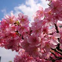 2019年3月 三浦・三崎ぶらっと散策♪みさきまぐろきっぷで河津桜を楽しむ♪
