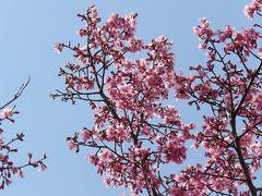 柏尾川の1ダースのおかめ桜が見頃になりました