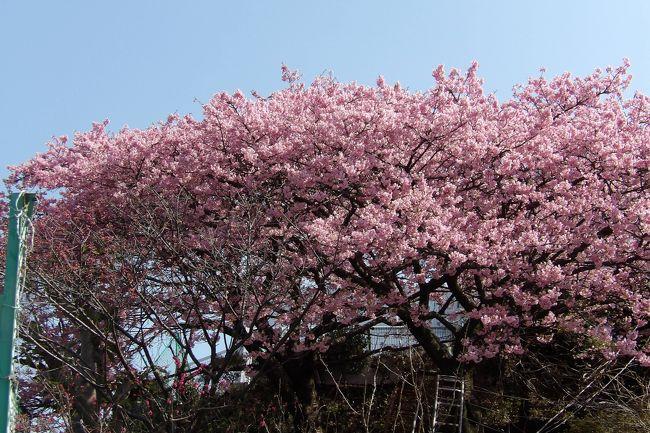 松田町の河津桜は先月(2月)24日には満開(https://4travel.jp/travelogue/11461444、https://4travel.jp/travelogue/11461860)であった。では戸塚の河津桜はといえば、しらぎく幼稚園の河津桜がようやく満開になった。松田町と戸塚ではそんなに気温が違うのか?とも思ったが、線路を潜った先の軒に植えられている河津桜はもう散り際である。むしろ、戸塚でもほんの数100m行っただけでそこの気温が違うようだ。<br />(表紙写真は満開のしらぎく幼稚園の河津桜)