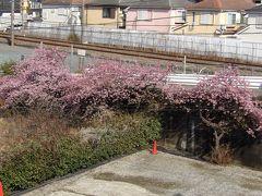 アイス工房メーリア駐車場の早咲きの桜