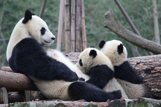 昨年も3月末から成都にパンダを見に行きましたが、今年もパンダを見に行ってきました\^^/<br /><br />大人パンダも子パンダもたくさん見ることができ、本当に大満足の旅行でした!<br /><br />3日目の旅行記です