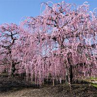 「鈴鹿の森庭園」の枝垂れ梅は 見頃です♪・・・
