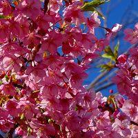 武庫川コスモス園に咲く河津桜の観桜(2) 桜は3品種咲いていました。