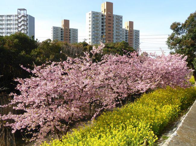2019 桜散歩(行徳近郊緑地・丸浜川沿い:河津桜と菜の花)