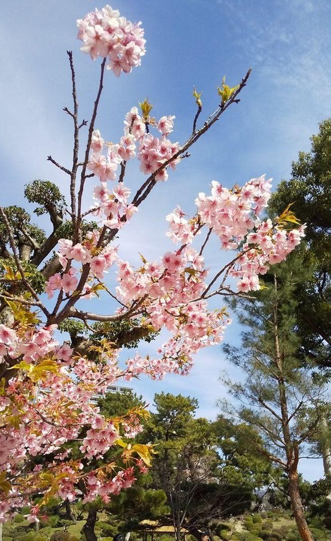 広島の観光名所「縮景園」<br />浅野家の別邸として建てられました。<br />お庭は茶道の家元としても知られる「上田宗箇」がデザインしました。<br />1940年に国の名勝に指定されましたが、その5年後、8月6日原爆によって焼失しました。そこで、広島県は1947年から復元作業を開始。<br />中央に配置した池の周りを人々が散策して、景色や季節の花々を楽しむという回遊式庭園としての姿に復元された縮景園内には、被爆の中、生きのびた植物(大銀杏、松、ムクの木)が今も残っています。<br /><br />晴れの日「縮景園」の春の花を見てきました。<br />梅はもう終わりで、「源平枝垂れ桃」はまだ咲いていませんでした。<br />河津桜がとてもきれいでよいお花見となりました。<br />