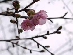 相模川沿いと三増の桜状況を見に行く