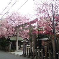 蔵前神社でお花見