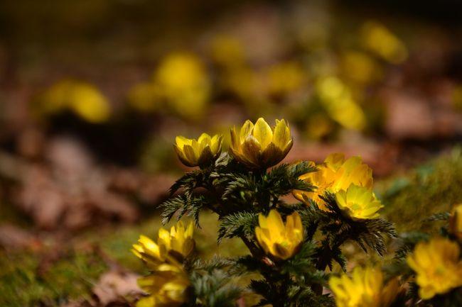 3月上旬、直前予約でお宿が取れたので、2泊で箱根仙石原へ。<br /><br />まだ、お花は少ないのはわかっていましたが、この時期だけの福寿草と、野鳥を探しに、仙石原を散策しました。
