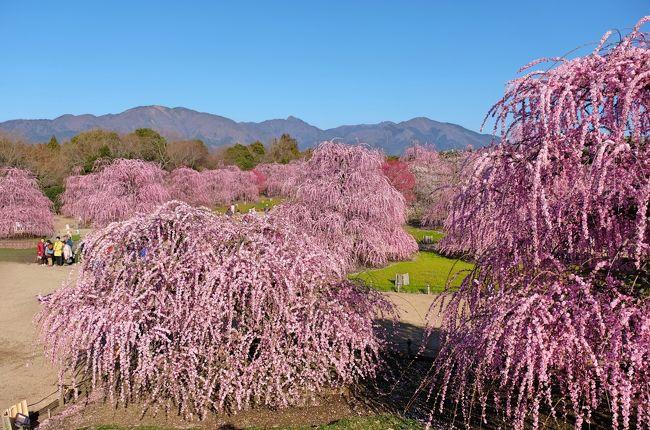 ここのところ暖かい日が多くなり、すっかり春めいてきました。<br />桜に先駆けて春を知らせてくれるのは梅の花で... 先日大阪城の梅園行ってみたのですが、まだ花は5分咲きの状態でした。<br /><br />梅の名所は関西にも多くあり、今までいろんなところを訪れましたが、一番のお気に入りは『城南宮』の枝垂れ梅です。ピンクのシャワーのように流れ咲く枝垂れ梅の可愛さは、たまりません♪♪<br /><br />城南宮以上の場所はないだろうと思っていたら、去年4トラ仲間のyokoさんが『いなべの梅林』と『鈴鹿の森庭園』を紹介してくれました。<br />いなべ市の農業公園は「死ぬまでに行きたい絶景日本」に選ばれているらしく、鈴鹿の森庭園も勝るとも劣らない美しい梅園のようでした。ここは行ってみたい!!と思っていたのですが、交通の便が良くなくて諦めかけていたところ、夫が車を出してくれることに(#^.^#)<br /><br />鈴鹿の森庭園のHPを見ると、ちょうど満開で見頃ということでした♪<br />そういうわけで、今年の観梅は鈴鹿まで行き、せっかく行くなら1泊して、『なばなの里』にも足を延ばす旅となりました。