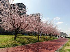 汐入公園の大寒桜みごろ