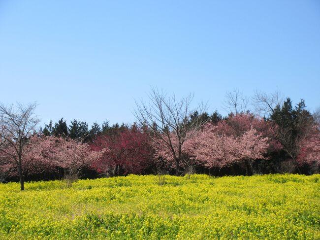 Cerasus lannesiana &#39;Kawazu-zakura&#39; <br />河津桜の学名<br /><br />1955年に静岡県賀茂郡河津町田中の<br />飯田勝美さんが<br />河津川沿の雑草の中で1m程の原木を 偶然発見し<br />庭先に植えたのが由来<br /><br />オオシマザクラとカンヒザクラの自然交雑種と推定される<br /><br />近年 春一番のり!と人気者(≧∇≦)<br /><br />そんな サクラを鑑賞に!(^_-)-☆<br /><br />2019.3.9 <br />[いせきき市民のもり公園]<br /><br />2019.3.18 <br />ソメイヨシノでは花見の名所「赤城南面千本桜」の <br />[みやぎ千本桜のもり]<br />ソメイヨシノだけじゃないんですよ(o^^o)<br />河津桜と菜の花 のコラボが楽しめる穴場です☆