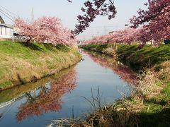 久喜市鷲宮の河津桜を早朝ウォーキングで楽しむ