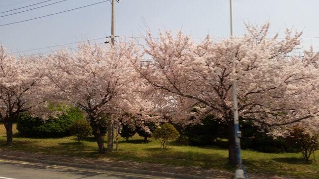 2019年3月28日(木)~30日(土)JTB旅物語<br />「春彩!!いいとこどり韓国桜めぐり3日間」に参加しました。その1日毎の旅行記です。主な日程は以下の通りです。<br />28日(木)成田空港第1ターミナル エア釜山にて 釜山へ <br />              龍頭山公園の夜桜見物、国際市場 バリューホテル釜山2連泊<br />29日(金)鎮海市にて桜鑑賞 ◎余佐川橋 ◎広安里の◎桜街道散策 <br />         ◎海雲台「月見の丘」桜見学 免税店 カジノ体験<br />30日(土)自由行動 韓国食料品店 釜山発成田へ