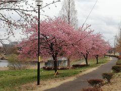 茨城で河津桜2