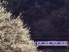 京王電鉄「サンリオラッピングトレイン」と高尾梅郷に咲き広がる梅の花を見に訪れてみた