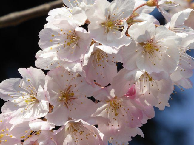 このところ、毎週末、桜を求めて散策です。<br />3月半ばで、ソメイヨシノにはまだまだ早いので、皆さんの4トラ旅行記で早咲き桜を探す日々。この日は天気が良かったので、少し大船まで遠出です。<br /><br />本日観桜の品種は<br /> 11.玉縄桜<br /> 12.春めき<br /> 7.オカメ<br /> 13.啓翁桜<br /> 14.敬翁桜<br /> 9.寒緋桜<br /> 8.大寒桜<br />※番号は前回からの続き
