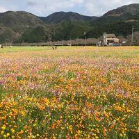 祝!クラウドでことしもやります。松崎町の田んぼの花畑2019